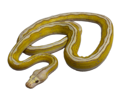 Picture of Motley Lavender Albino Tiger Reticulated Python